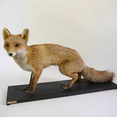 Hermoso Jungfuchs Zorro Rojo Junger Fuchs sobre Tabla de Decoración Taxidermy