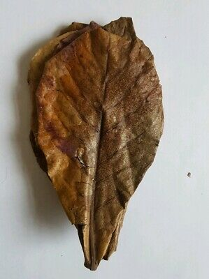 """Grade A Indian almond leaves 15-20cm 6-8"""" for shrimps betta tropical fish"""