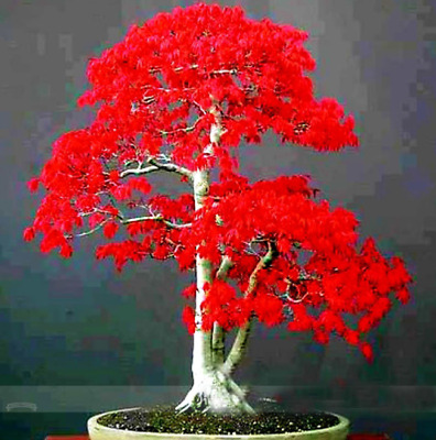 100% True Japanese Red Maple Seeds Bonsai Tree 50PCS Seeds Home Garden Plants S