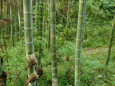 50g  graines Phyllostachys pubescens Moso Bambou,bambou géant,moso bamboo seed