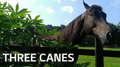 """Cassava Manihot Cuttings """" Sweet Jamaica Red"""" ( 3 pieces) FREE SHIPPING!"""