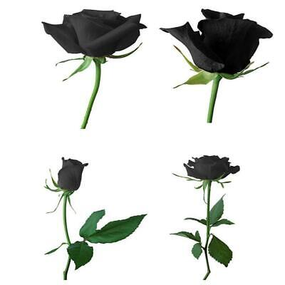 100 pcs Black Rose Flower Plant Seeds Charm Black Rose Garden Home Lover Gi K9I7