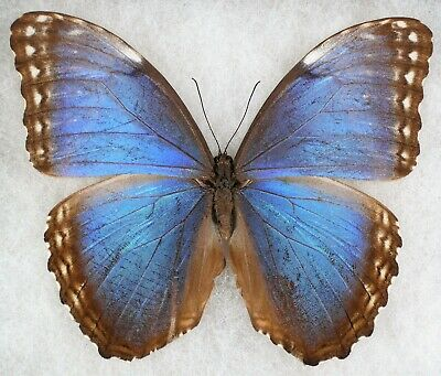 Insect/Butterfly/ Morpho helenor faustina - Male Blue Form