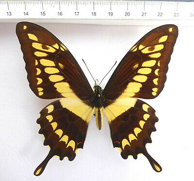 Papilio thoas nealces FEMALE!!!  ex Colombia, n724