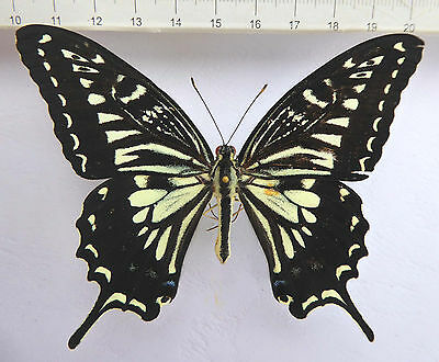 Papilionidae, Papilio xuthus MALE from Japan  n458a