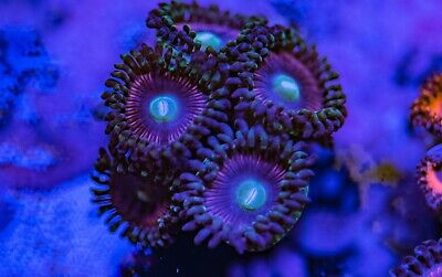 Lord of the Rings Zoa Zoanthid Palythoa 5p Polyp Frag Soft Marine Coral