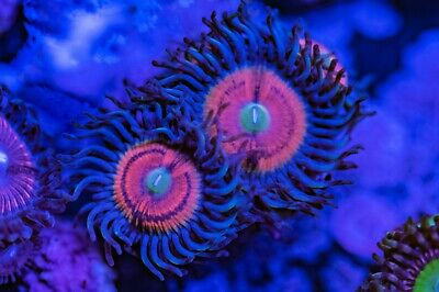 Pink Flamingo Palys Zoa Zoanthid Palythoa 3 Polyp Frag Soft Marine Coral Ultra