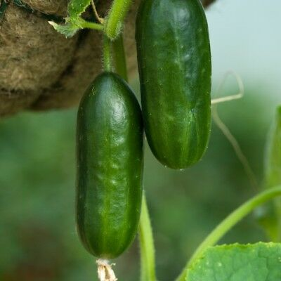Pack Vegetable Seed Cucumber 'Mini Munch F1' Kings Quality Seeds
