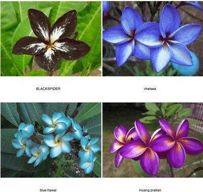 Set 4 Cutting Fragrant Plumeria Easy Plant 7-12 Inch+Certificated Free Shipping