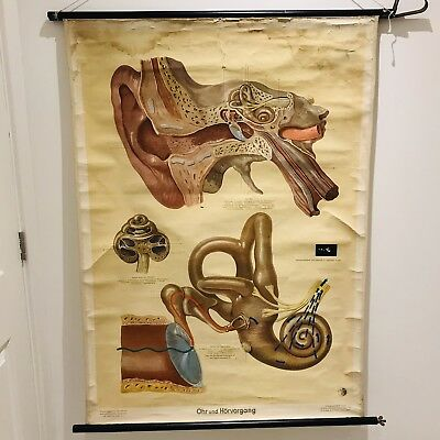 Antique Medical Anatomy Poster Roll German The Human Ear, Hearing Receptors No 7