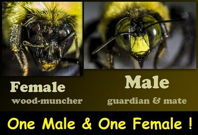 1 Real Male & Female Carpenter BEE DRIED SPECIMEN INSECT TAXIDERMY