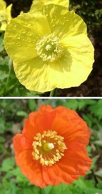 Welsh Poppy seeds - Meconopsis Cambrica - mixed yellow & orange 200+ seeds