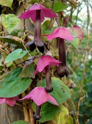 Rhodochiton Bell Vine 25 Seeds Purple Bell Vine