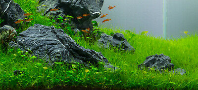 Dwarf Hairgrass Eleocharis Parvula Live Aquarium Plants  BUY 2 GET1 FREE