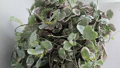 Bouture Cutting CEROPEGIA WOODII  VARIEGATA  Chaine de coeur pour suspension
