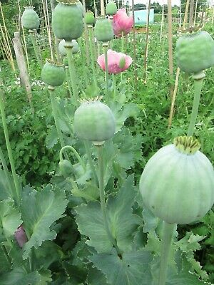 50 Papaver Setigerum Seeds - Poppy Of Troy-The Giant Poppy - Buy 1 Get 1 Free