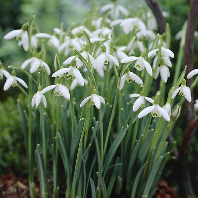 50 Snowdrop Large Flower Galanthus Nivalis Top Quality Spring Flowering Bulbs