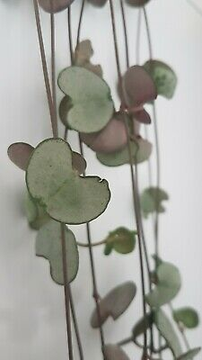 3x Ceropegia Woodii 'SILVER GLORY' cutting String Of Hearts Hanging Houseplant