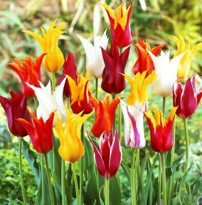 1-100 Tulip Lily Pastel Mixed Bulbs/Corms Perennial Spring Flowering Plant Now