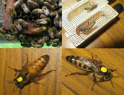 """2019 Live Mated, Marked, and Laying Honeybee Queen """"Northern"""" --SHIPPING 9-24-19"""