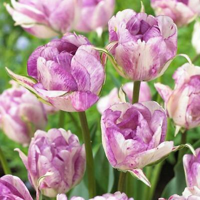 Tulip Bulb Double 'Shirley' WPC Prins Quality Bulbs Pack x10