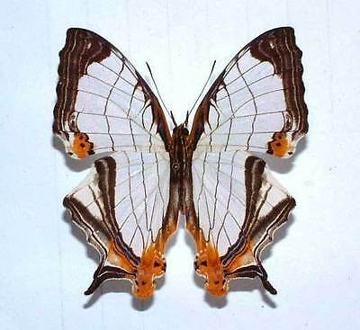 CYRESTIS ACHATES unmounted butterfly