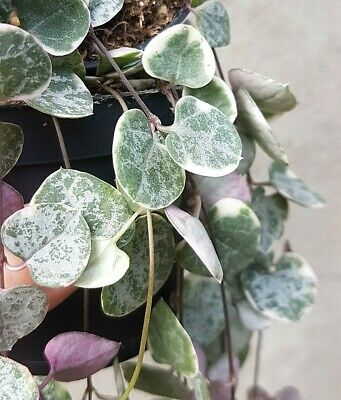 3x Ceropegia Woodii Variegated RARE Cuttings String of Hearts Hanging Houseplant
