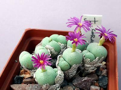 seeds 100 pcs Conophytum angelicae Aggeney //MG1410.62//  living caramels