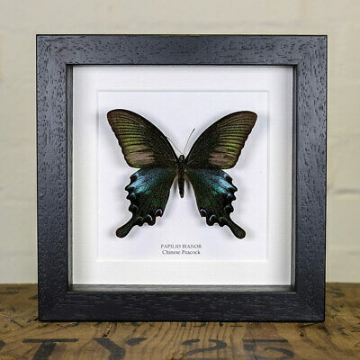 Chinese Peacock in Box Frame (Papilio bianor)