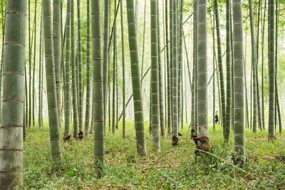 200g  graines Phyllostachys pubescens Moso Bambou,bambou géant,moso bamboo seed