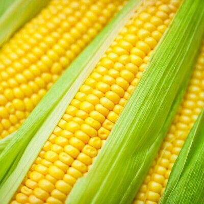 SWEET CORN True Gold 15+ Seeds HEIRLOOM summer vegetable garden OPEN-POLLINATED