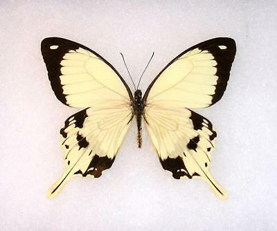 BUTTERFLY/MOTH/MOUNTED Central African Republic Swallowtail PAPILIO DARDANUS