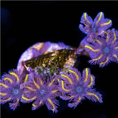 Live Zoa Coral Frag Cornbred Nuclear Death Paly 3-6 polyps