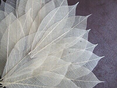 12 Natural Real skeleton leaves 5-6 inches Craft Card Embellishment Wedding Art