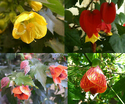 Lot de 4 Boutures Cuttings  ABUTILON