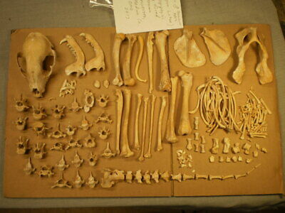 Taxidermy skeleton real Raccoon dissarticulated clean sorted by bone type male