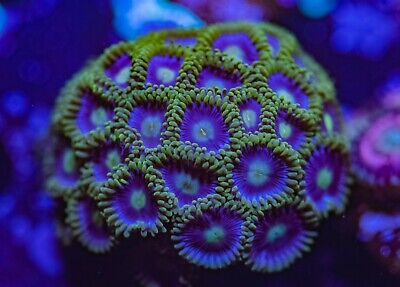 Stunning Pretty Zoas Zoanthid Palythoa 25 Polyp Frag Soft Marine Coral Colony