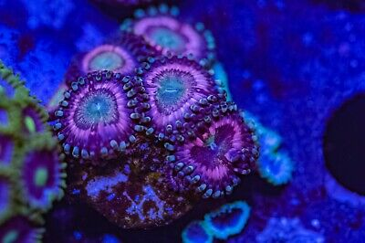 Tropical Skittles Zoas Zoanthid Palythoa 6 Polyp Frag Soft Marine Coral Ultra