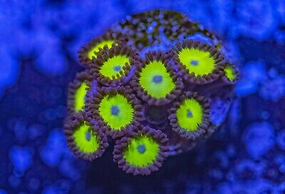 Sunflowers Zoas Zoanthid Palythoa 9 Polyp Frag Soft Marine Coral Ultra