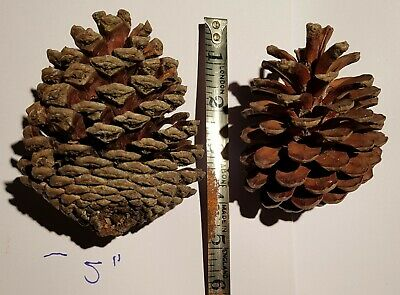 "2 giant 5"" PINE CONES, real, sale 100%* for CATS PROTECTION charity"