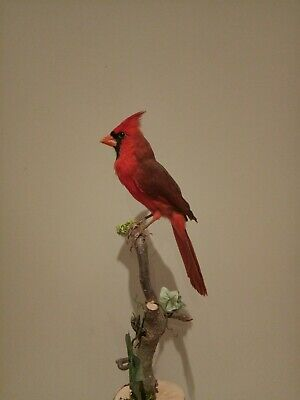 Roter Kardinal Vogel Präparat , taxidermy Bird Red cardinal