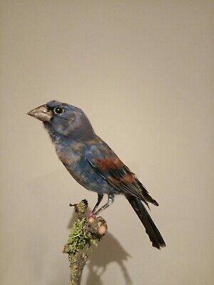 Azurbischof blauer cardinal Vogel Präparat , taxidermy Bird ,blue Grosbeak zucht