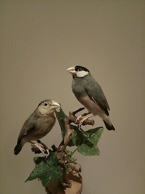 Vogel Präparat , Reisfink,prachtfink,taxidermy Bird ,Java Sparrow, zucht