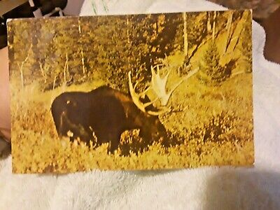 Vintage Bull Moose Yellowstone Postcard  Lot(77-06)