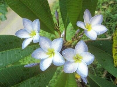 """NEW Plumeria with rooted /""""PLOY CHOM PHU/"""" Tropical Plant variegated RARE@@@"""