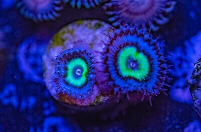 Mindblowing Paly Zoas Zoanthid Palythoa 2 Polyp Frag Soft Marine Coral Ultra