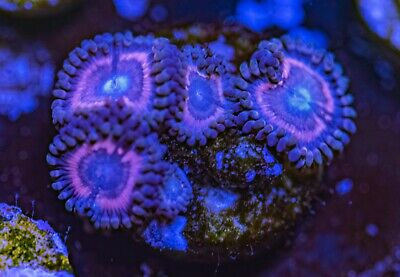 Sweet Pink Palys Zoas Zoanthid Palythoa 4 Polyp Frag Soft Marine Coral Ultra