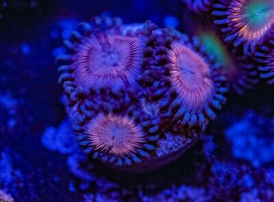 Peach Bandits Palys Zoas Zoanthid Palythoa 3 Polyp Frag Soft Marine Coral Ultra