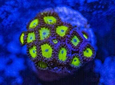 Sunflowers Zoas Zoanthid Palythoa 16 Polyp Frag Soft Marine Coral Ultra