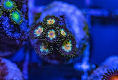 XO Nuclear Fallout Zoas Zoanthid Palythoa 6 Polyp Frag Soft Marine Coral Ultra